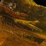 Balti borostyán rovar zárvánnyal (13.2 gramm)